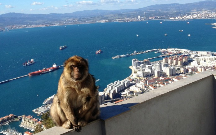 One of Gibraltar's wild monkeys enjoying some scenery
