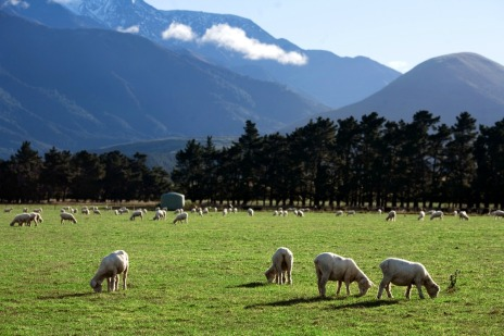 Hang out with sheep in New Zealand