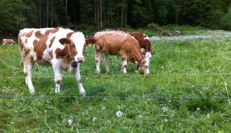 Cows & bells.